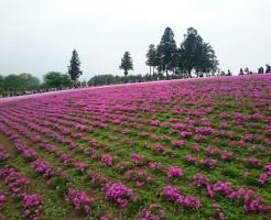 富士芝桜まつり2017 見頃 クーポン